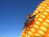 Badbug on top of an ear of corn