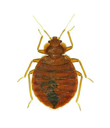 bedbug isolated on white