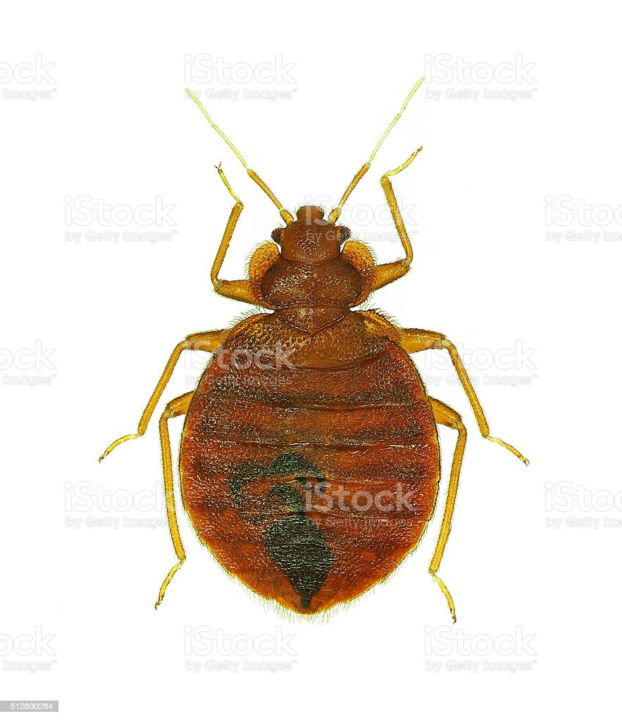 Bedbug (Cimex lectularius) stock photo