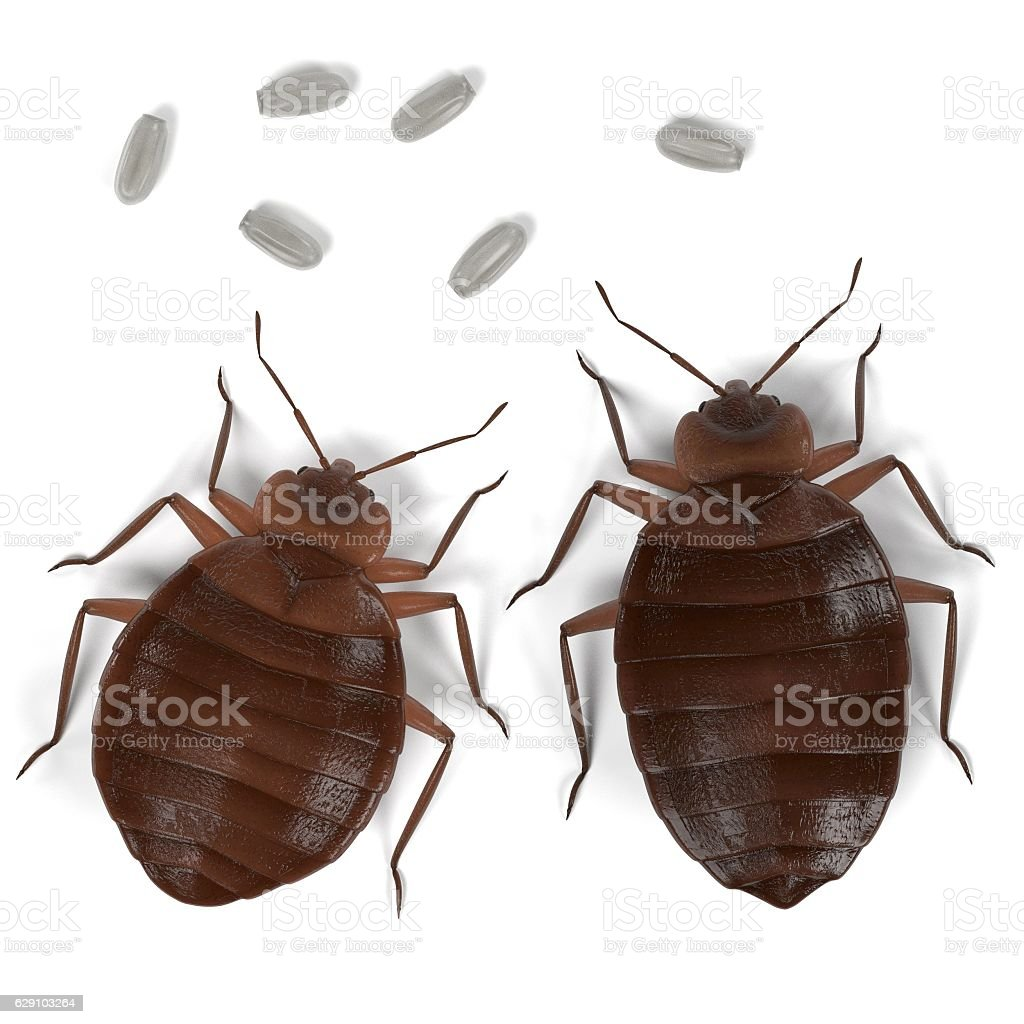 bedbug set stock photo