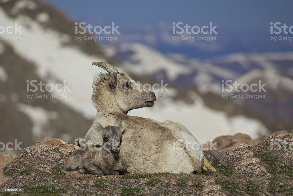 Bedded Bighorn Ewe and Lamb stock photo