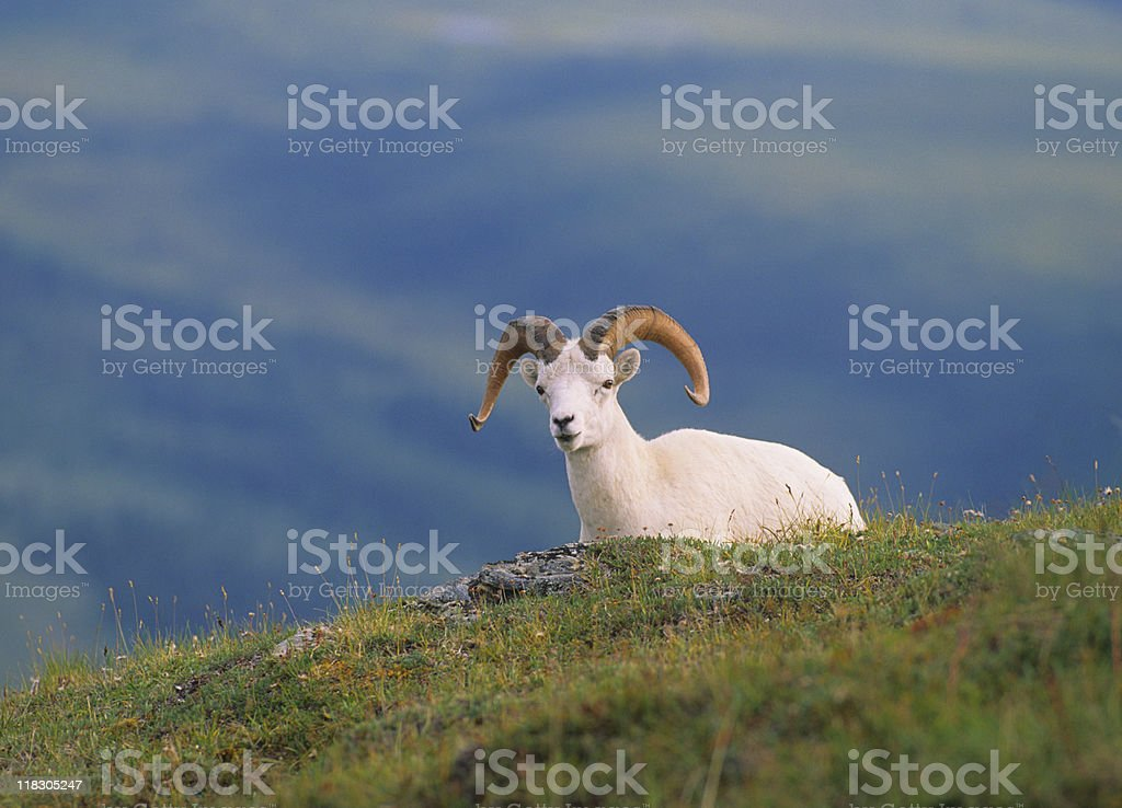 Bedded Dall Sheep Ram stock photo