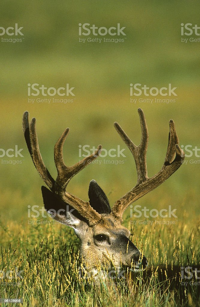 Bedded Mule Deer Buck In Velvet Stock Photo Download Image Now Istock