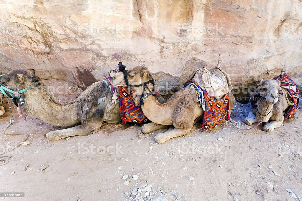 bedouin camels royalty-free stock photo