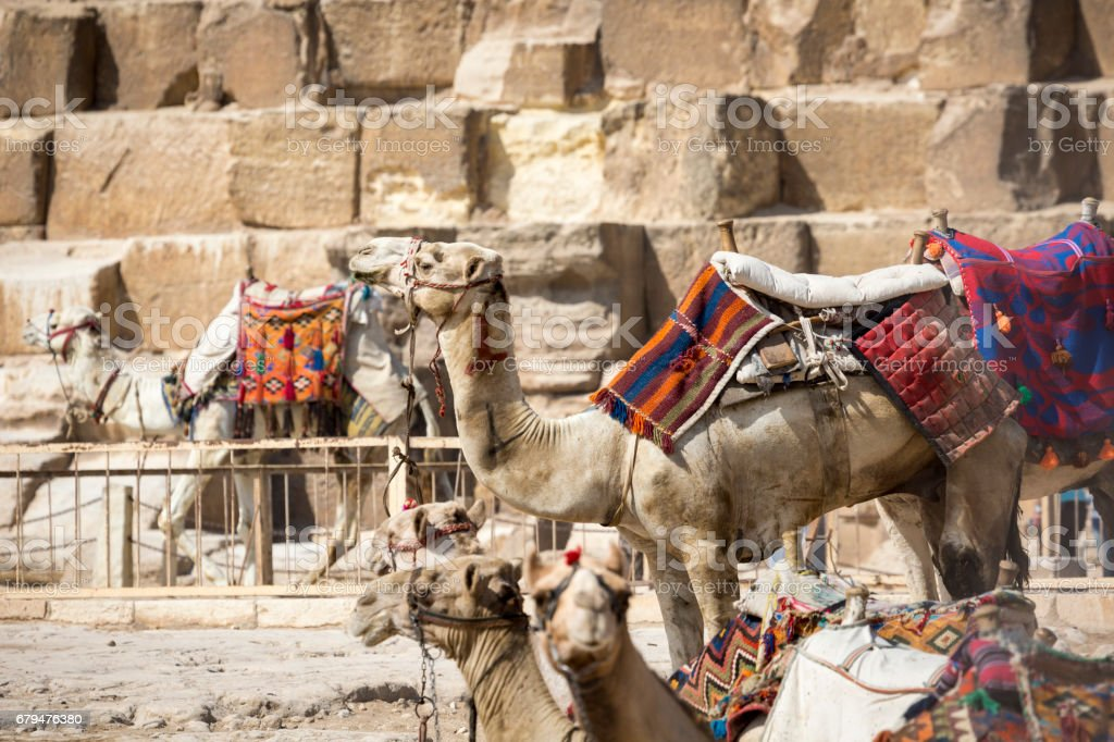 Bedouin camels rest near the Pyramids, Cairo, Egypt 免版稅 stock photo