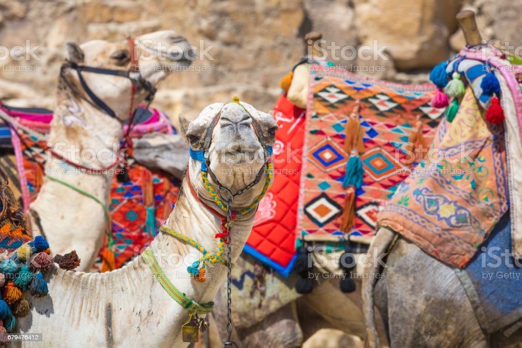 Bedouin camels rest near the Pyramids, Cairo, Egypt royalty-free stock photo