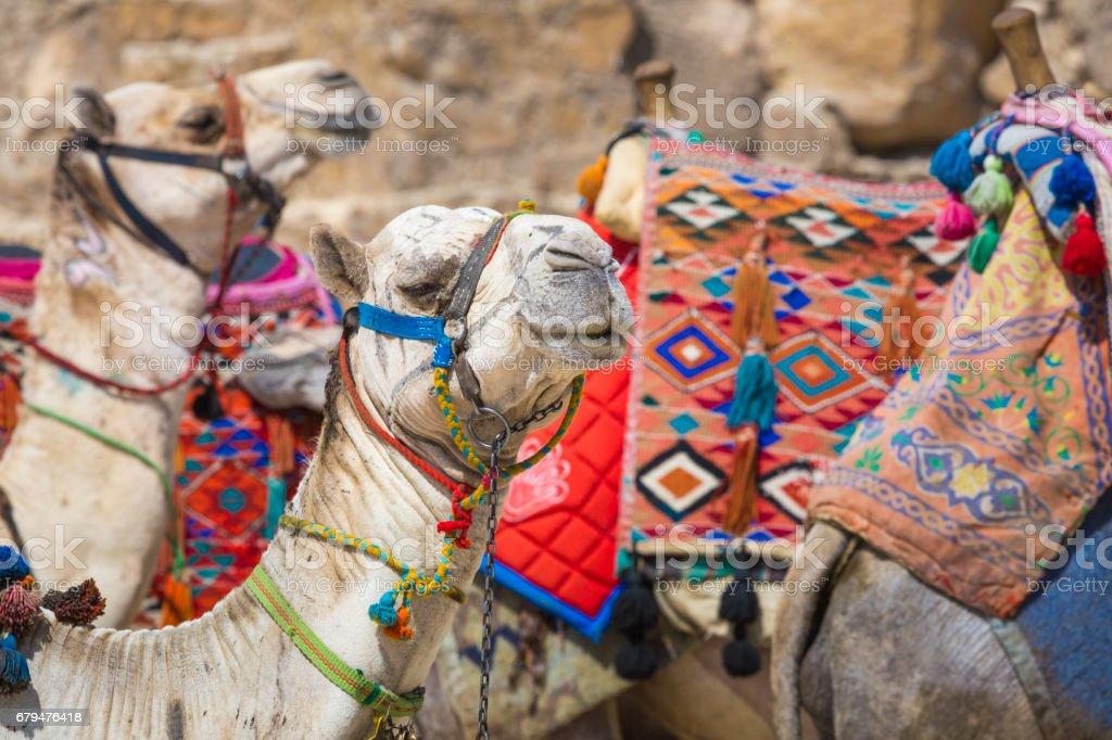 金字塔,埃及開羅附近的貝都因人駱駝休息 免版稅 stock photo