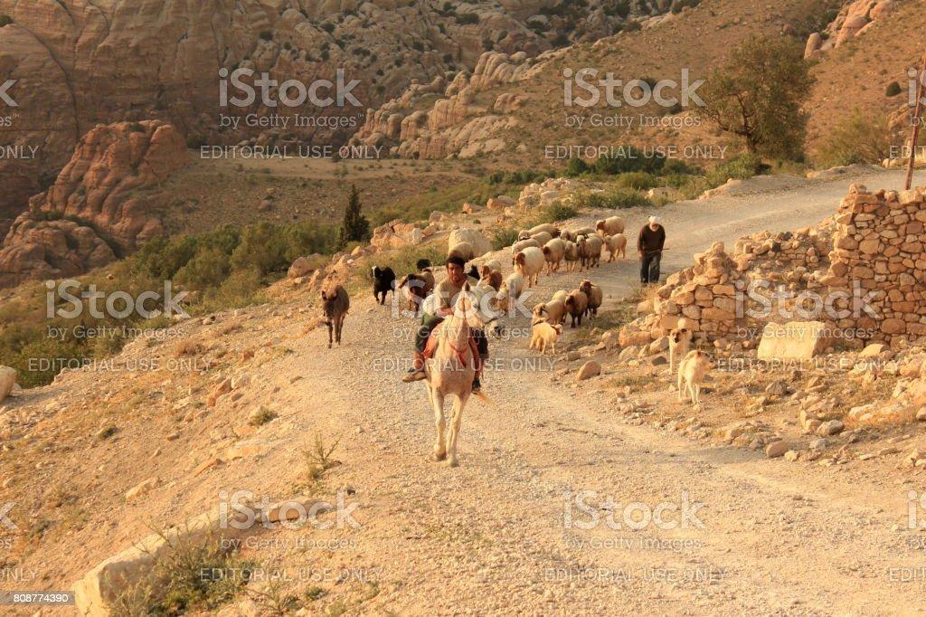 Bedouin shepherd with sheep stock photo