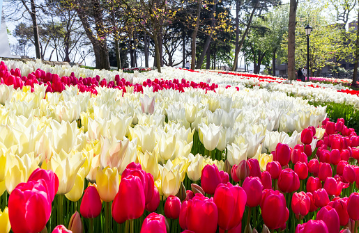 1094016162 istock photo Beds of tulips flower in Istanbul, Turkey, in the spring tulip festival in April 1209700467