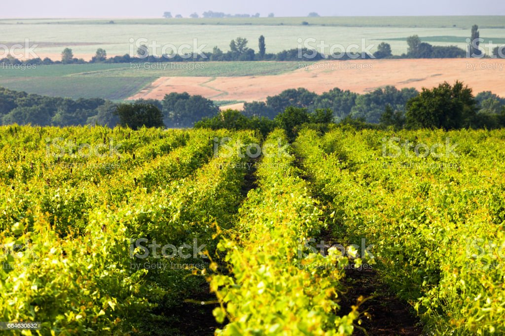 Beds of vineyard stock photo