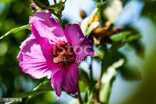 Bee and a hollyhock flower