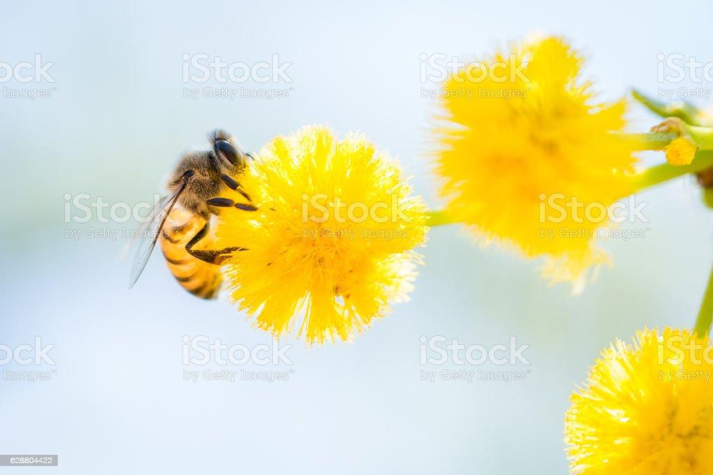 Bee and Acacia Blossom stock photo