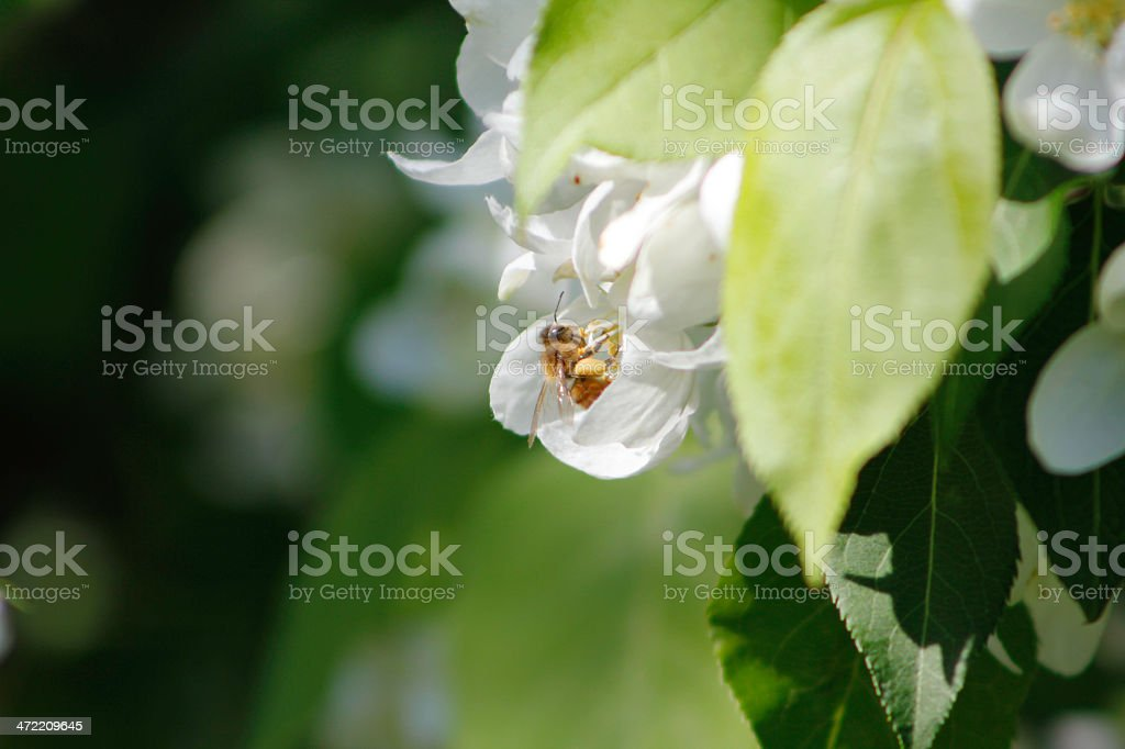 Bee and Apple Blossom stock photo