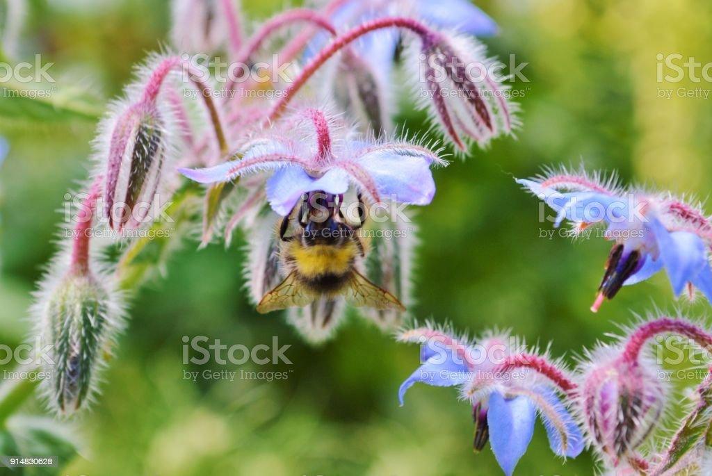 Biene und Borretsch-Blüten. – Foto