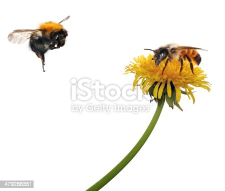 yellow bright dandelion and bee on white background