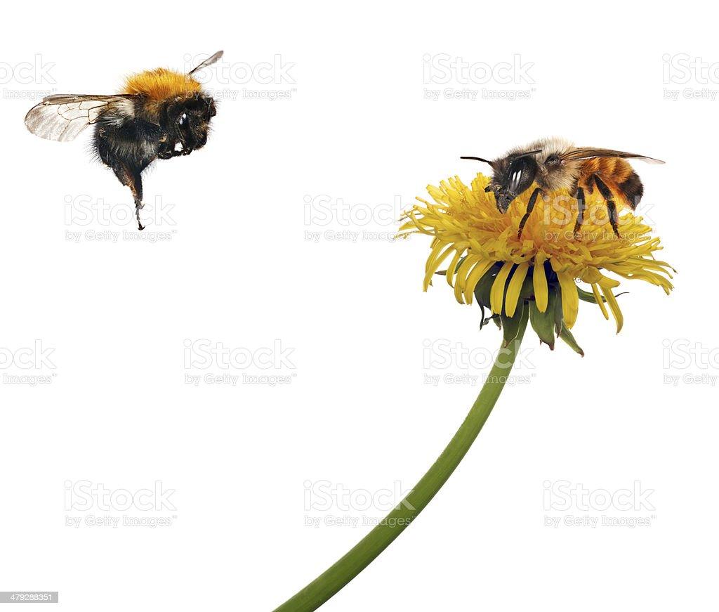 Abeille et Fleur de pissenlit jaune Bourdon à proximité - Photo