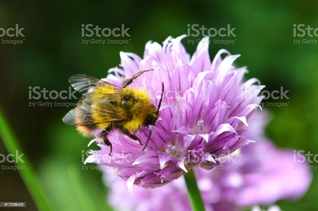 Biene und Schnittlauch Blume. – Foto
