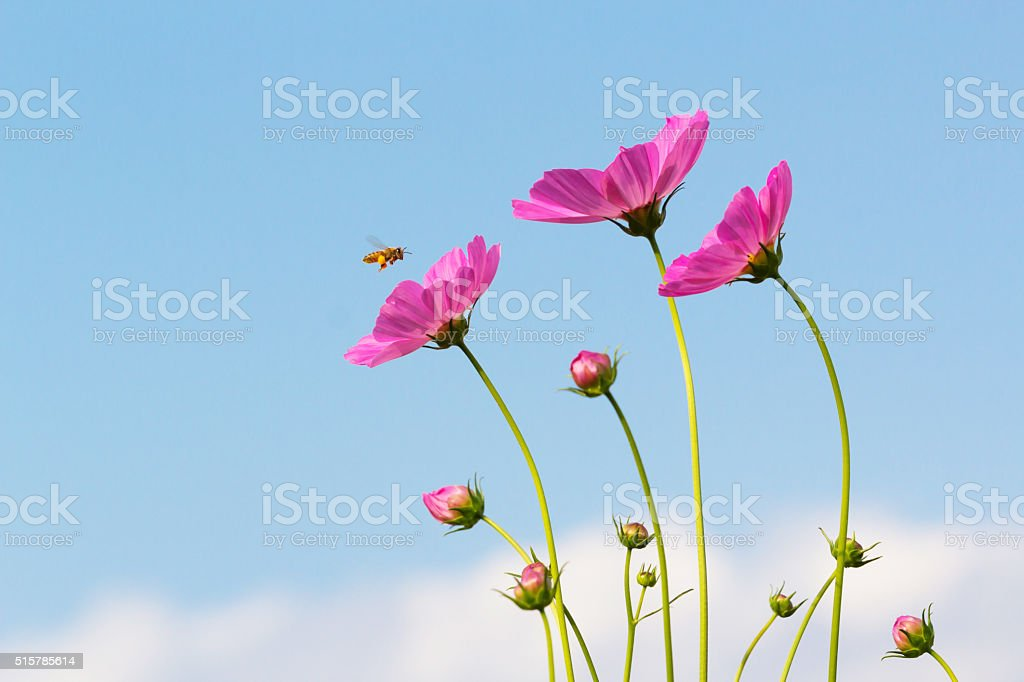 Bee and cosmos flowers with blue sky. stock photo