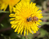 A honeybee pollinating a dandelion flower.