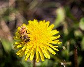A honeybee pollinating a dandelion flower.