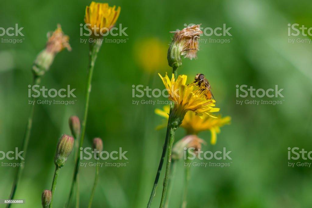 Bee and dandelion stock photo