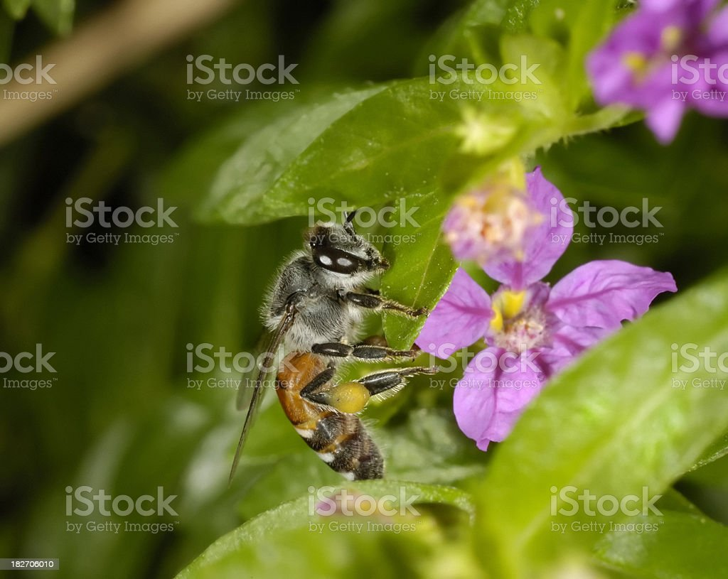 Bee and False Heather stock photo