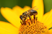 Bee and flower. Close up of a large striped bee collecting pollen on a yellow flower on a Sunny bright day. Macro horizontal photography. Summer and spring backgrounds