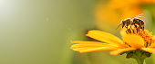 Bee and flower. Close up of a large striped bee collecting pollen on a yellow flower on a Sunny bright day. Banner, on the left is an empty space for the text. Summer and spring backgrounds