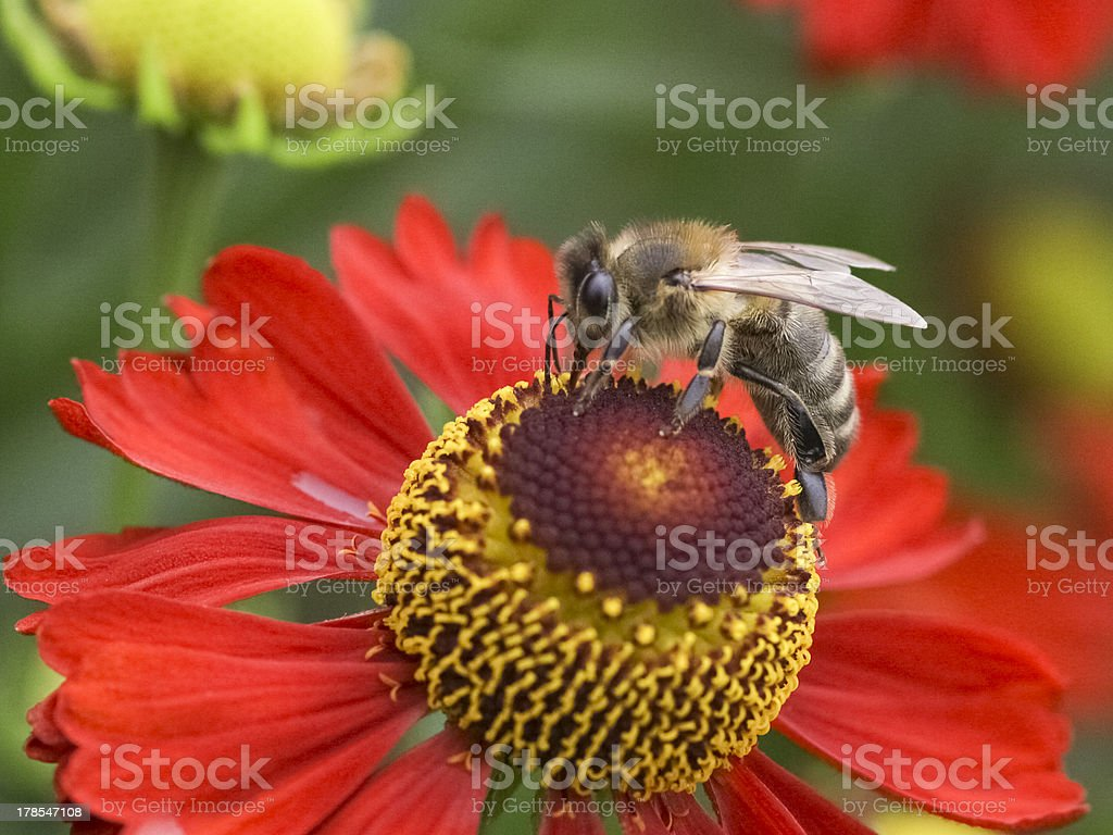 Bee and flower royalty-free stock photo
