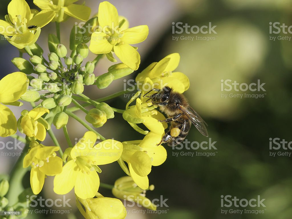 Bee and flowers 1 stock photo