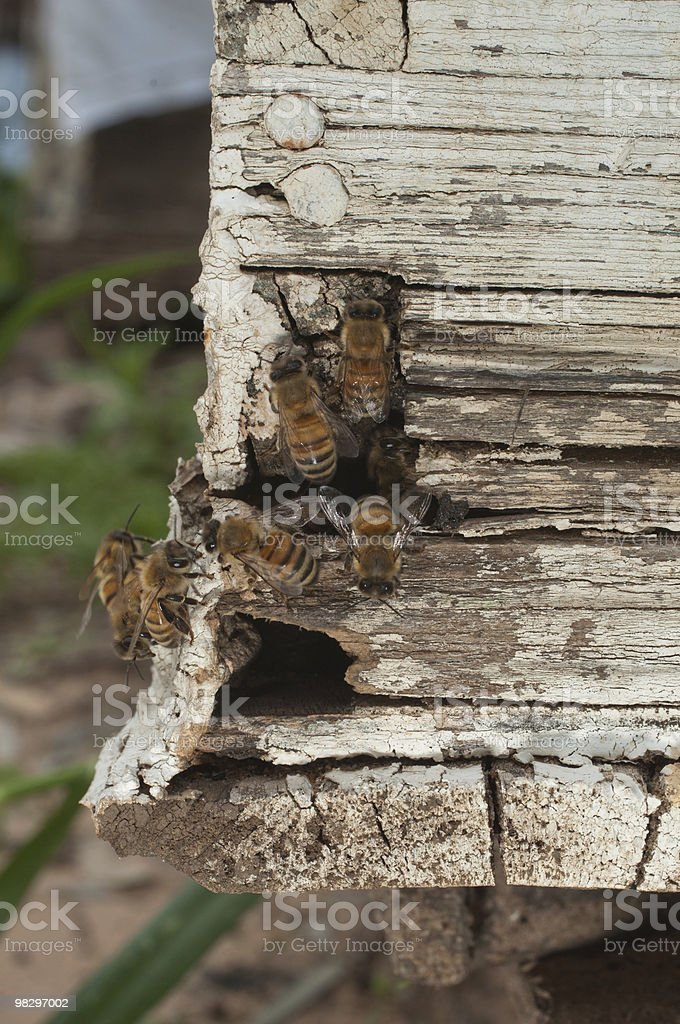 Bee and hive royalty-free stock photo