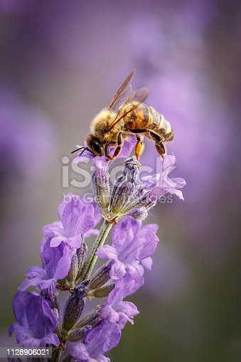 istock Bee and lavender flower close-up in purple field 1128906021