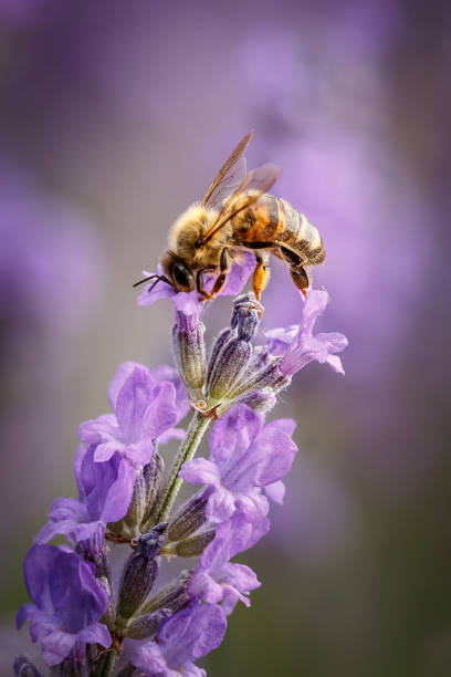 bee en lavendel bloem close-up in paarse veld - bestuiving stockfoto's en -beelden