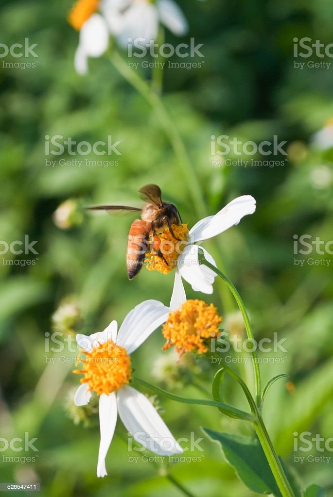 bee and little wihte flowers with bokeh background stock photo