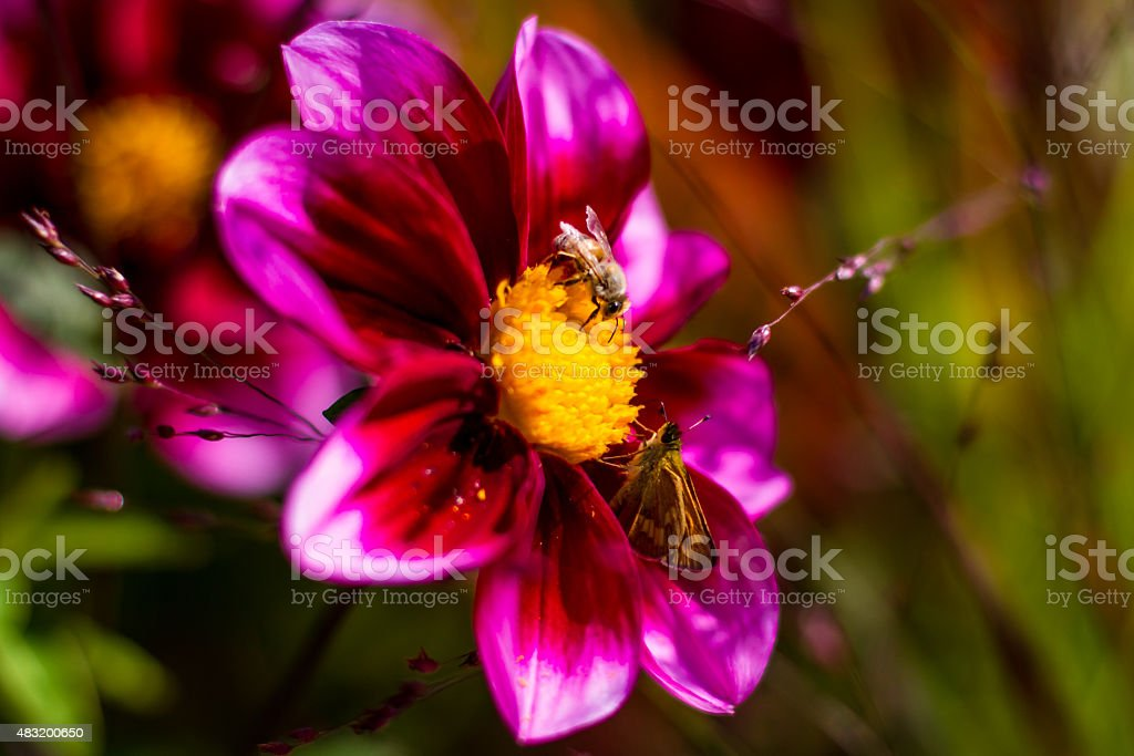Bee and Moth Collect Pollen from the Same Flower stock photo