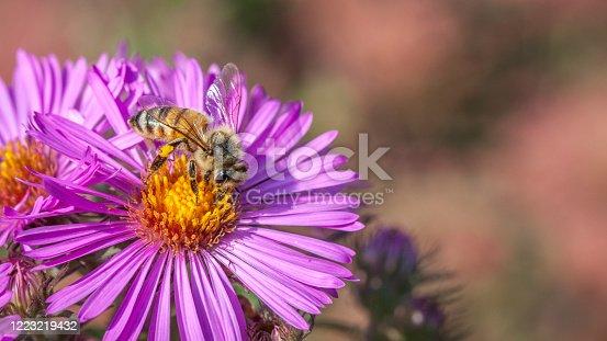 Une abeille butine un aster en automne au Québec.
