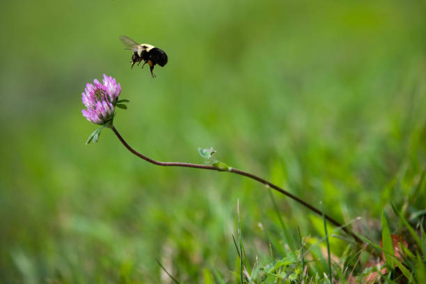 Bee and Purple Clover stock photo
