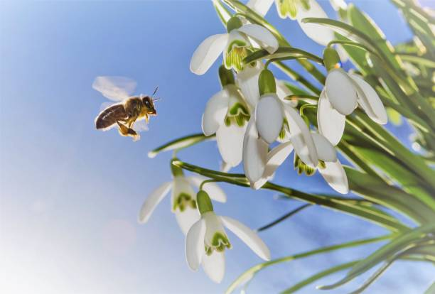 bee and snowdrops - snowdrop stock pictures, royalty-free photos & images