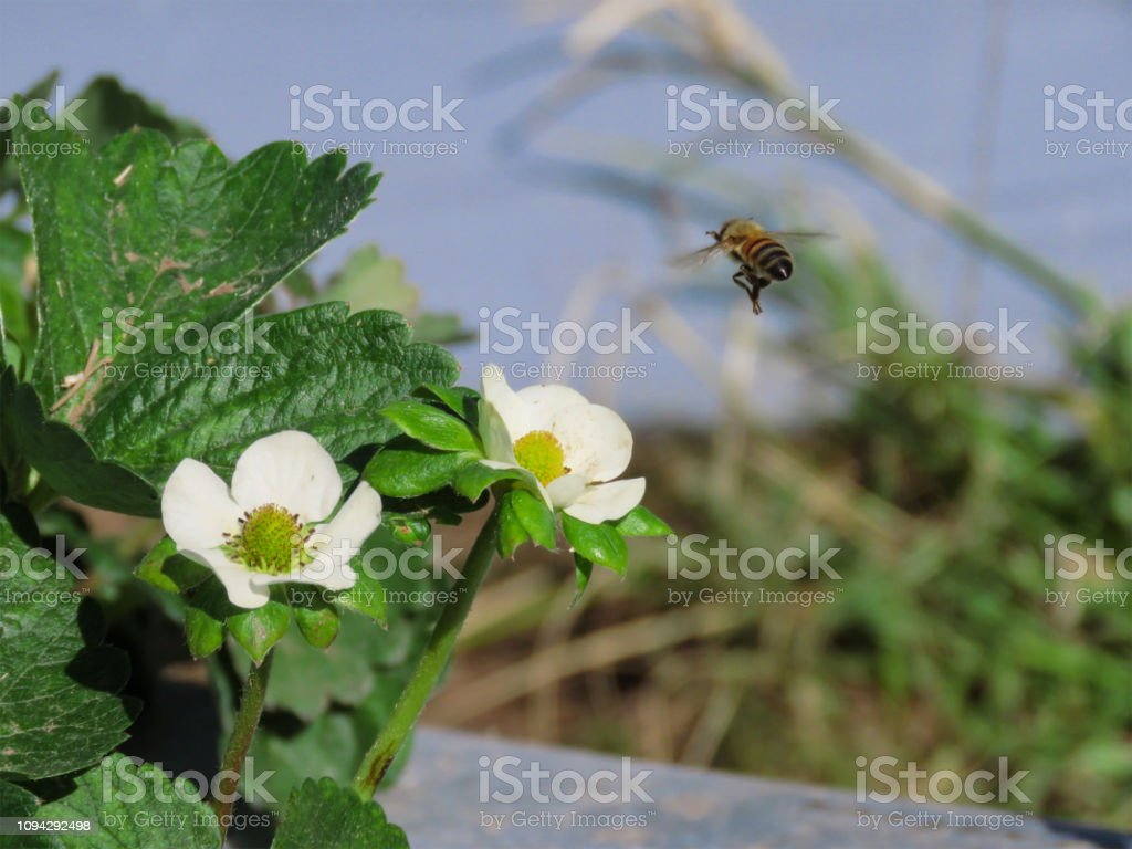 bee and strawberry, flowers, farm industry, agriculture stock photo