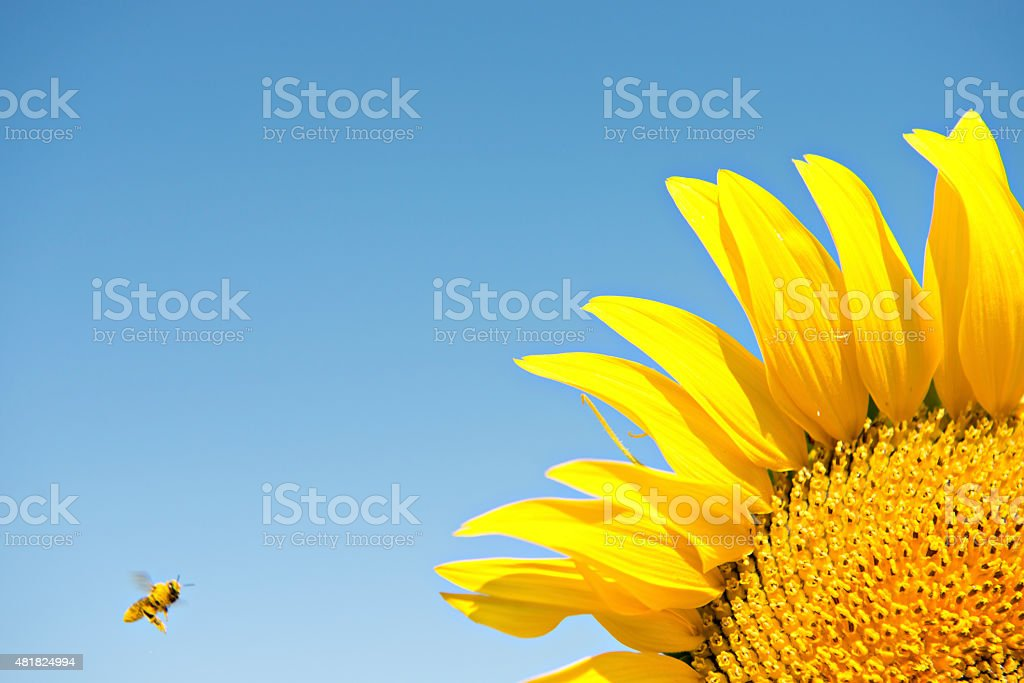Bee and Sunflower stock photo