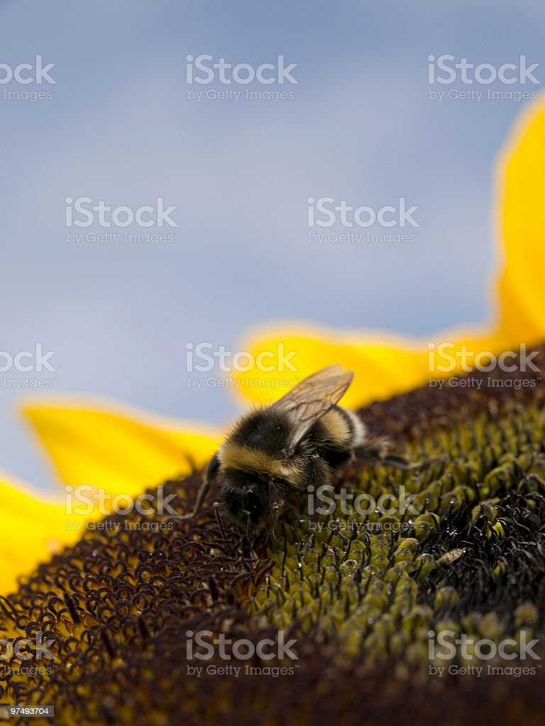 Bee and Sunflower royalty-free stock photo
