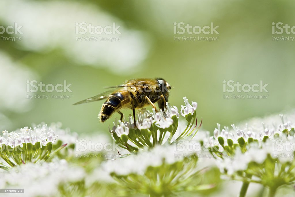 Bee (Hymenoptera) and wildflowers royalty-free stock photo