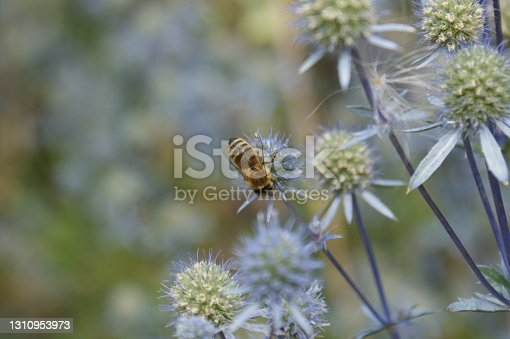 Bee apis mellifera on eryngium planum flower