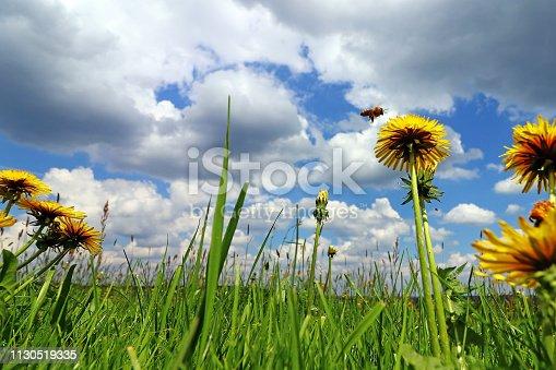 A bee approaching a flowering dandelion in a meadow under a blue-white sky