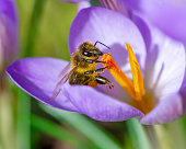 Macro of a Bee at a purple crocus flower blossom