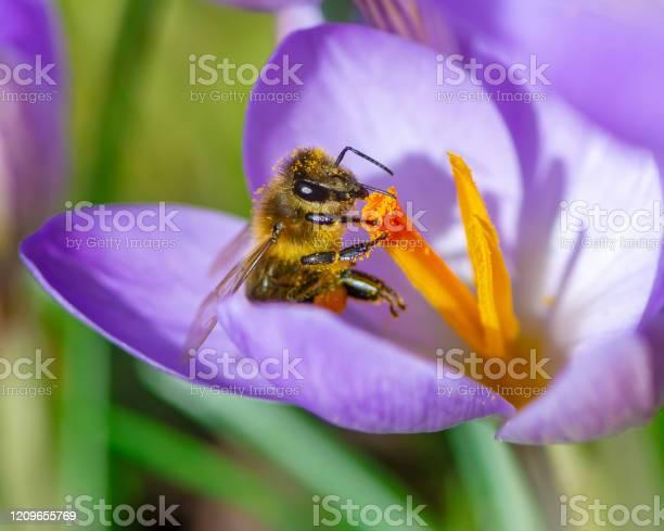 Bee at a purple crocus flower blossom picture id1209655769?b=1&k=6&m=1209655769&s=612x612&h=9q60j 3tnryz4rmmqxx mniv0pdweyzmwpewx39nqdq=