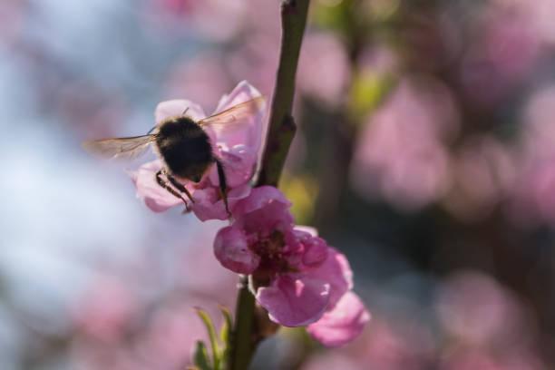 Pszczoła w pracy na różowych kwiatkach – zdjęcie