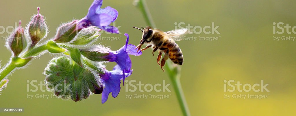 bee at work on purple blossoms on sunny day. stock photo