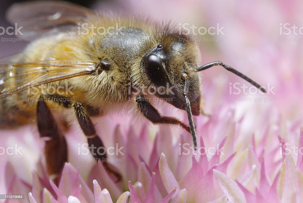 Bee at Work royalty-free stock photo