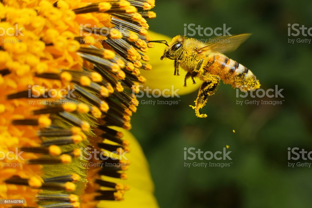bee at working A Bee hovering while collecting pollen from sunflower blossom, Thailand. Blossom Stock Photo